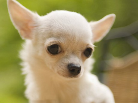 desktop-wallpapers-dog-chihuahua-free-background